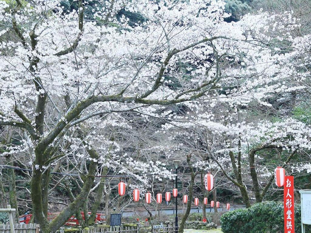 長門湯本の桜